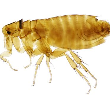The type of flea that we exterminate