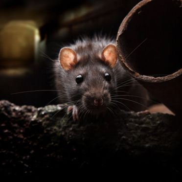 Rats are one of the most common pests we deal with