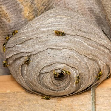 We remove wasps that inflict nasty stings